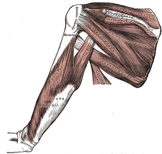 Muskelknuter og triggerpunkter