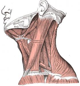 Sternocleidomatoideus